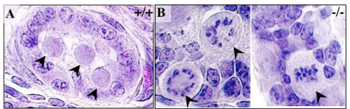 Paraffin-embedded sections of newborn testes stained with hematoxylin/eosin. (A) wt mouse with quiescent prespermatogonia in the center of the cords. (B) In the homozygous mutant, many prespermatogonia are engaged in mitosis. Arrowheads point to prespermatogonia.